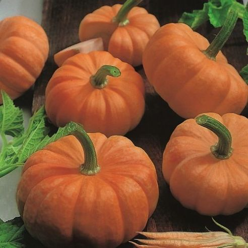 Pumpkin Jack be Little - 25 grams - Bulk Discounts available
